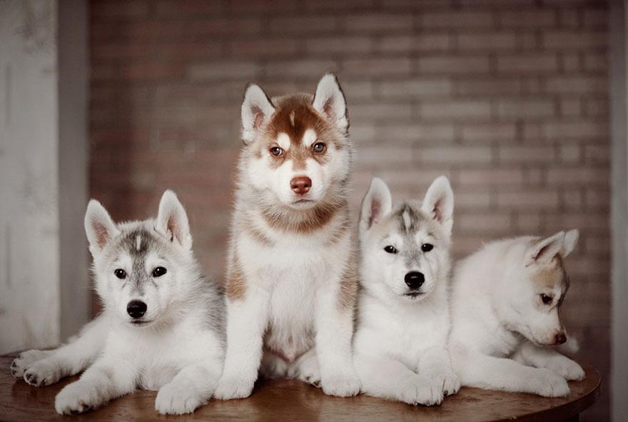 cuccioli-husky-siberiano-cani-instagram-erica-tcogoeva-13