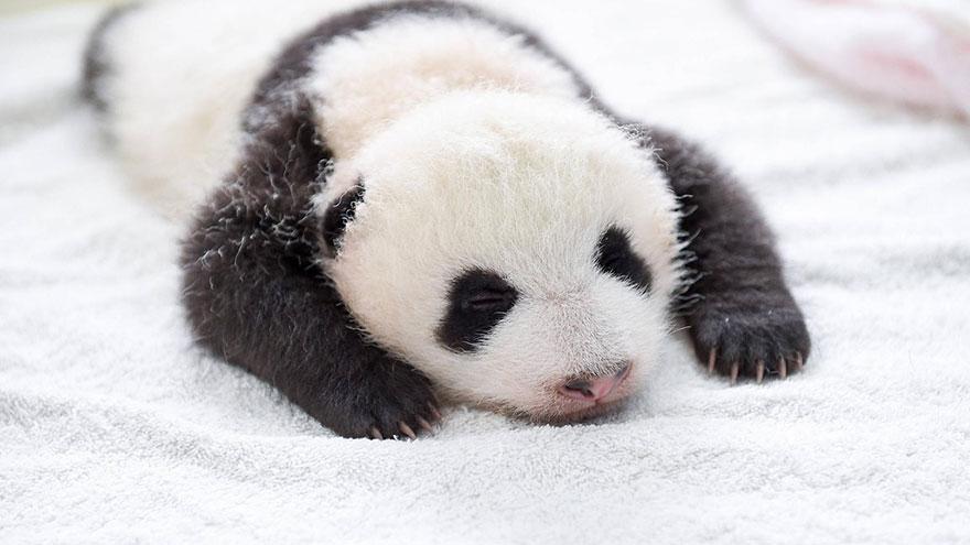 cuccioli-panda-dormono-debutto-cina-01