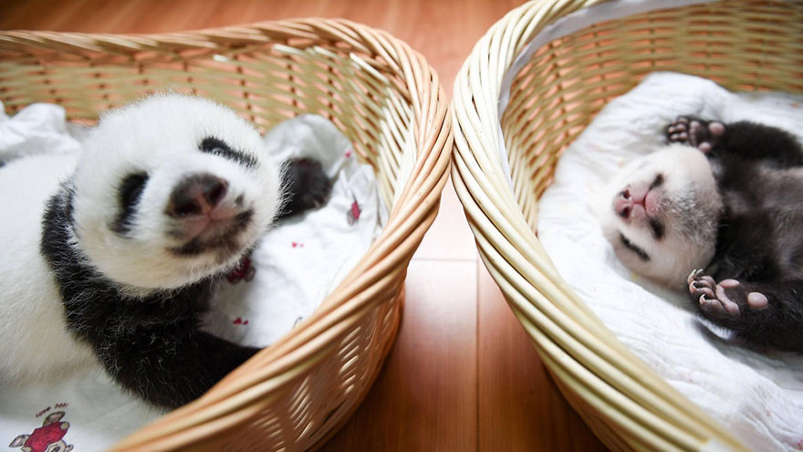 cuccioli-panda-dormono-debutto-cina-03