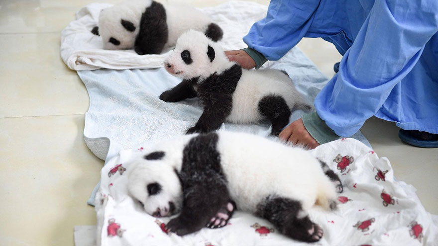 cuccioli-panda-dormono-debutto-cina-04