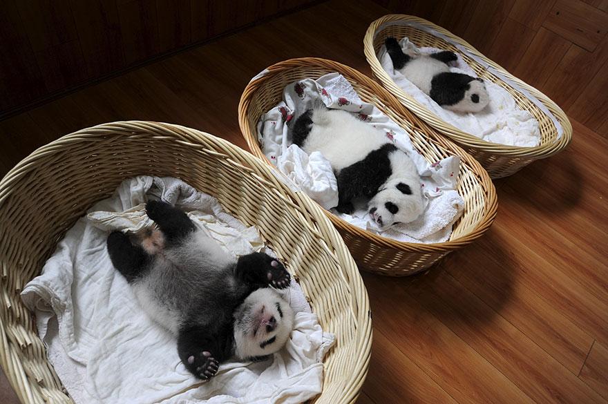 cuccioli-panda-dormono-debutto-cina-07