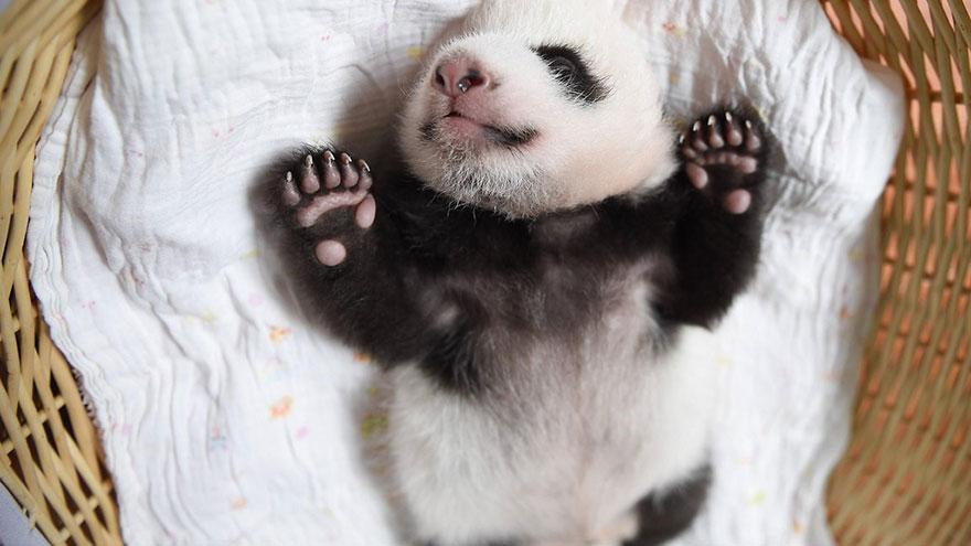 cuccioli-panda-dormono-debutto-cina-08