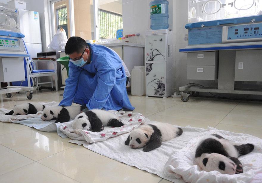 cuccioli-panda-dormono-debutto-cina-09
