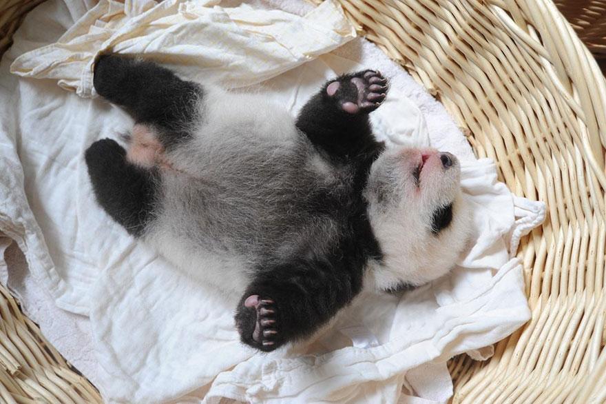 cuccioli-panda-dormono-debutto-cina-10
