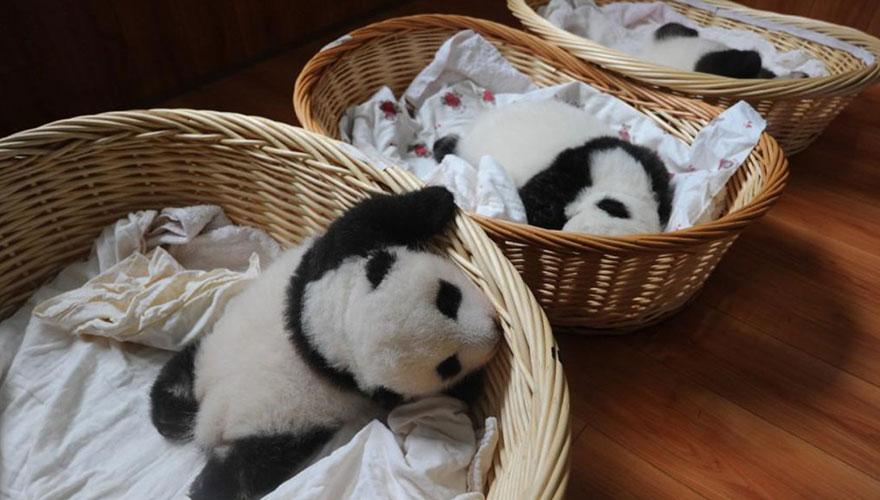 cuccioli-panda-dormono-debutto-cina-12