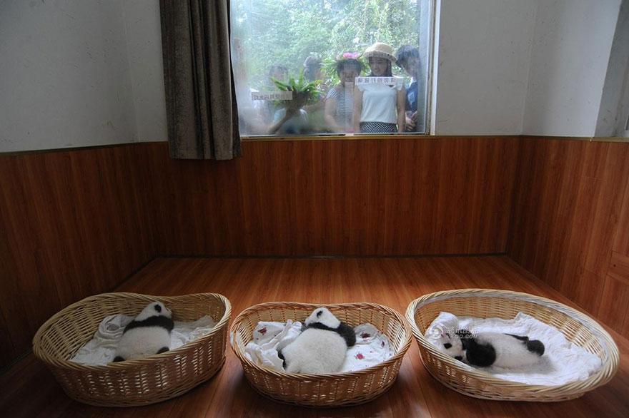 cuccioli-panda-dormono-debutto-cina-13