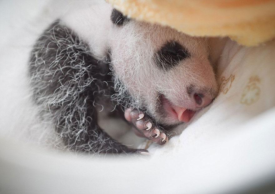 cuccioli-panda-dormono-debutto-cina-14