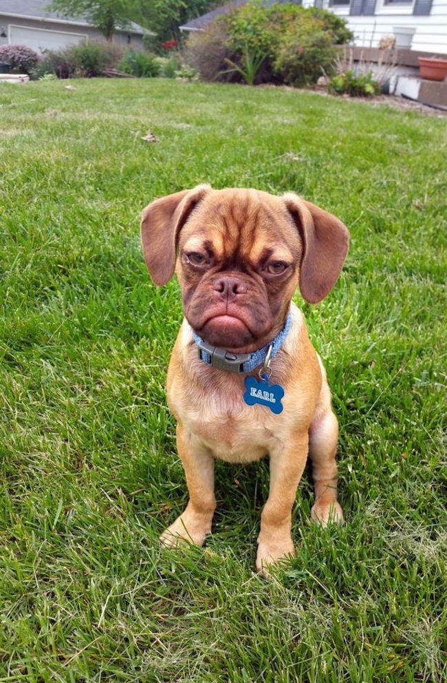 cucciolo-cane-espressione-imbronciata-accigliata-scontroso-earl-1