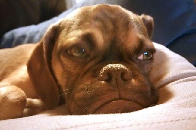 cucciolo-cane-espressione-imbronciata-accigliata-scontroso-earl-3
