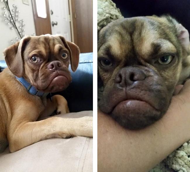 cucciolo-cane-espressione-imbronciata-accigliata-scontroso-earl-5