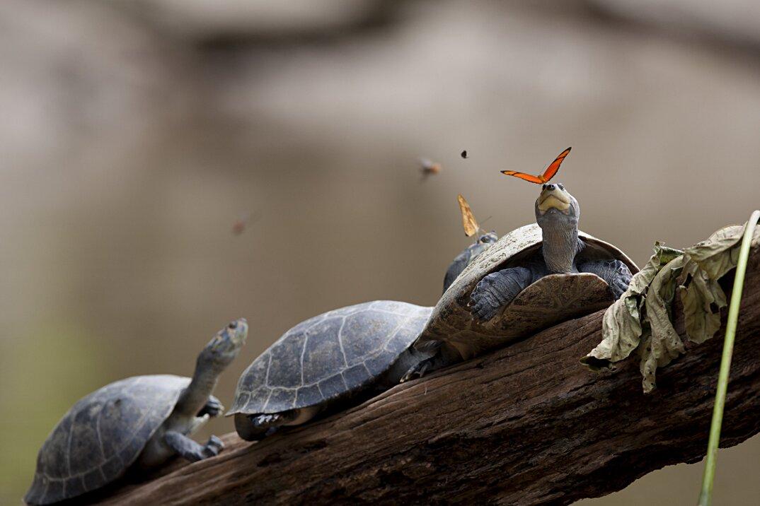 farfalle-bevono-lacrime-occhi-tartarughe-coccodrilli-alligatori-1
