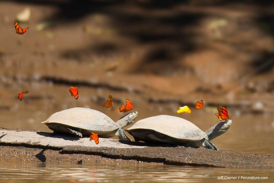 farfalle-bevono-lacrime-occhi-tartarughe-coccodrilli-alligatori-2