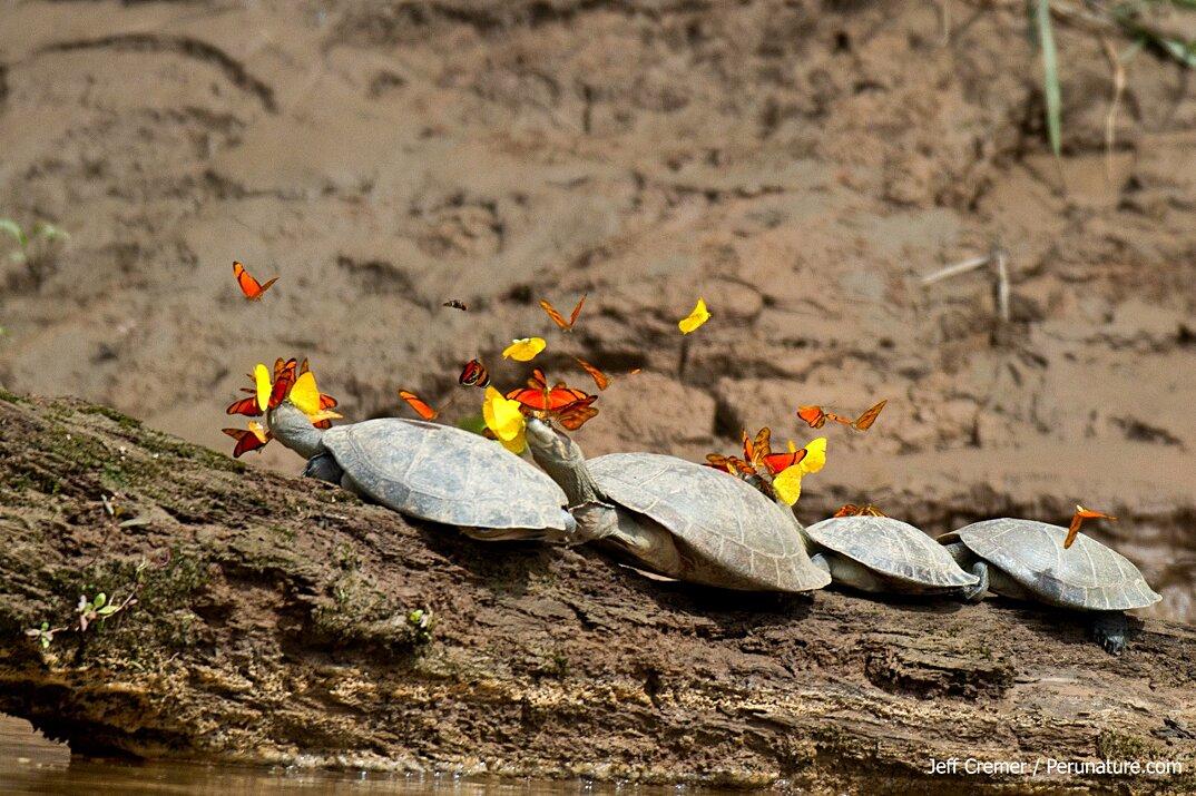 farfalle-bevono-lacrime-occhi-tartarughe-coccodrilli-alligatori-3