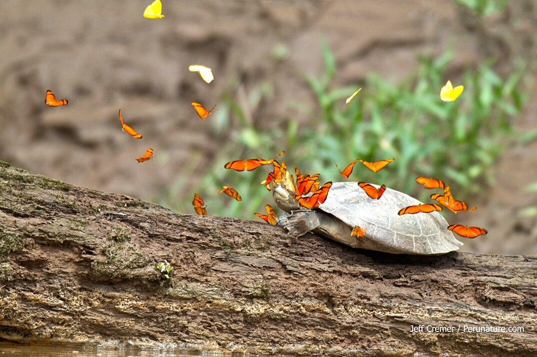 farfalle-bevono-lacrime-occhi-tartarughe-coccodrilli-alligatori-4