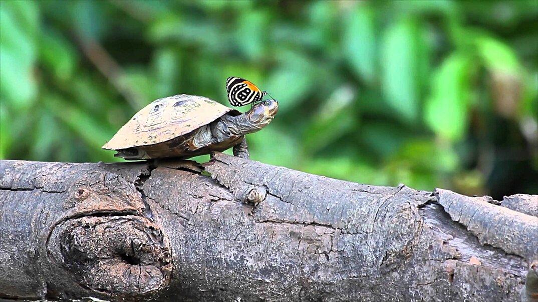 farfalle-bevono-lacrime-occhi-tartarughe-coccodrilli-alligatori-5