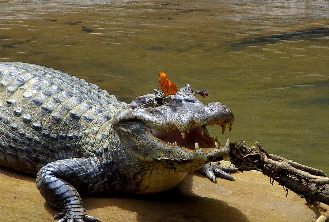 farfalle-bevono-lacrime-occhi-tartarughe-coccodrilli-alligatori-6