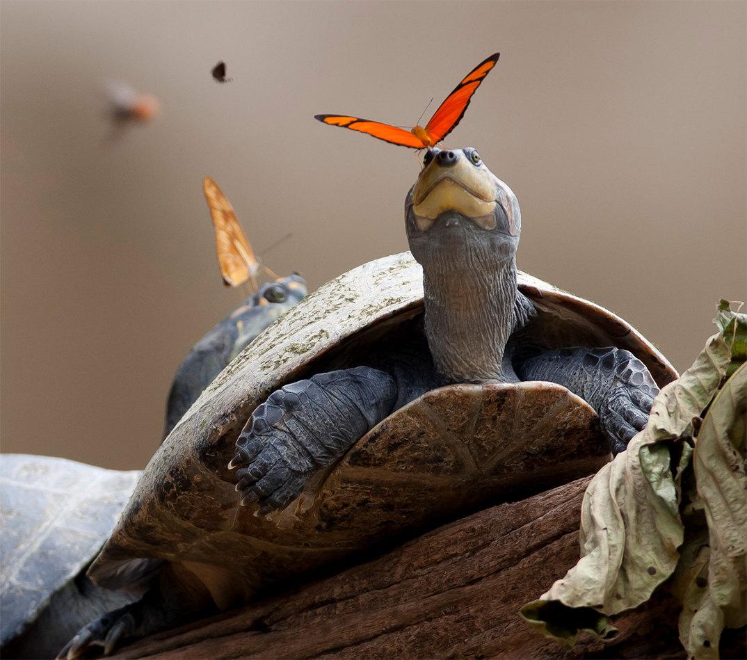 farfalle-bevono-lacrime-occhi-tartarughe-coccodrilli-alligatori-7