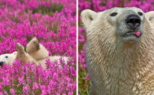 Cattura bellissime fotografie di orsi polari che giocano in un campo di fiori