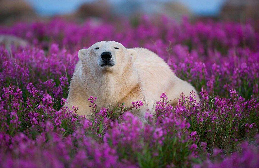 foto-orsi-polari-giocano-campi-fioriti-1