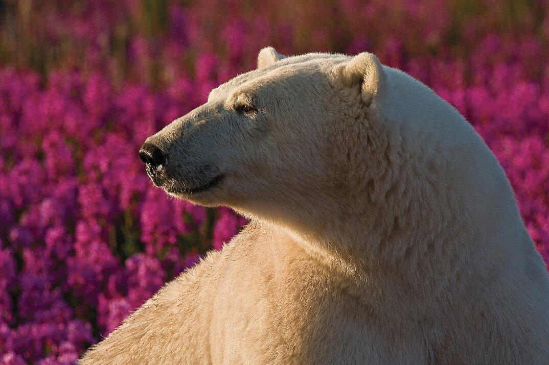 foto-orsi-polari-giocano-campi-fioriti-2