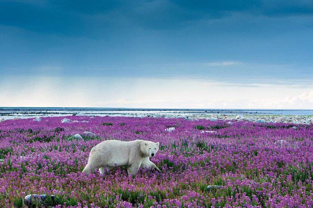 foto-orsi-polari-giocano-campi-fioriti-4