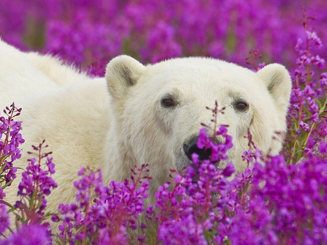 foto-orsi-polari-giocano-campi-fioriti-5