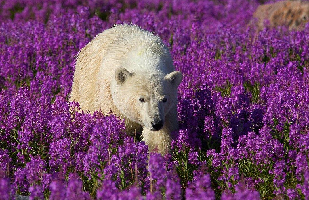foto-orsi-polari-giocano-campi-fioriti-6