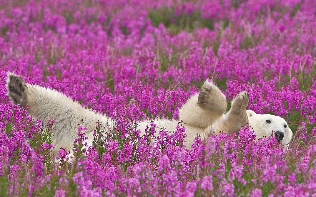 foto-orsi-polari-giocano-campi-fioriti-7
