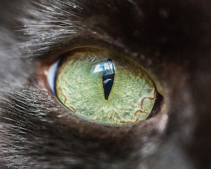 fotografia-macro-occhi-gatti-andrew-marttila-01