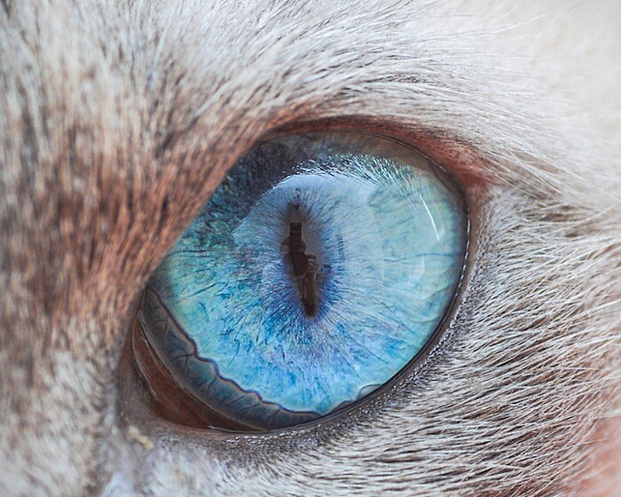 fotografia-macro-occhi-gatti-andrew-marttila-02