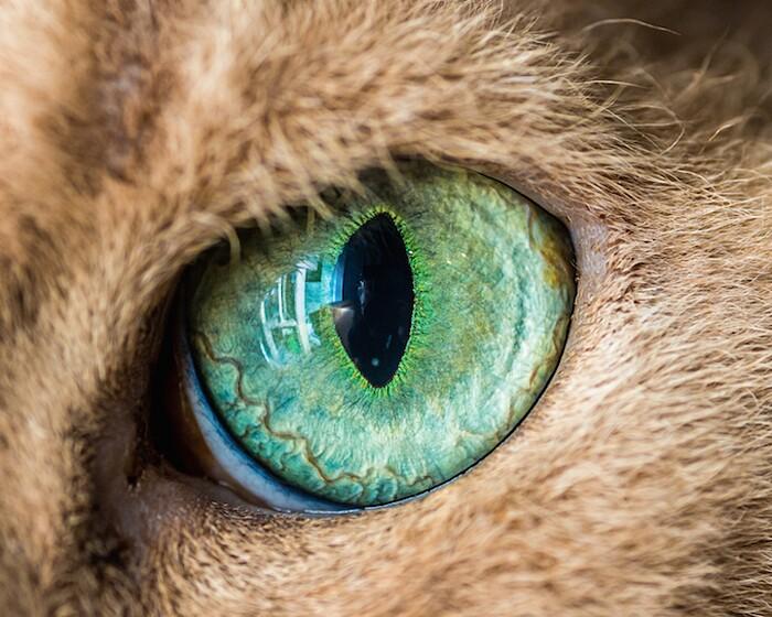 fotografia-macro-occhi-gatti-andrew-marttila-05