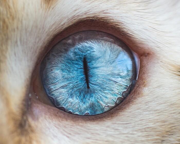 fotografia-macro-occhi-gatti-andrew-marttila-06