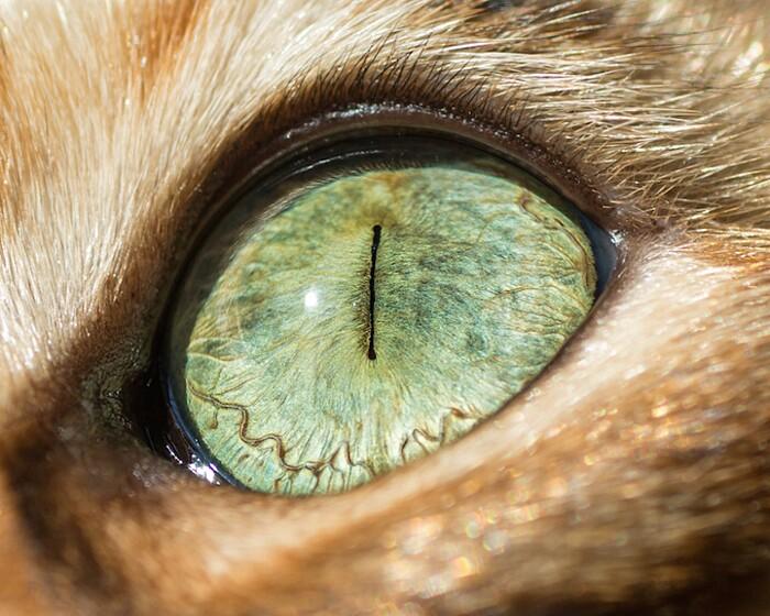 fotografia-macro-occhi-gatti-andrew-marttila-07