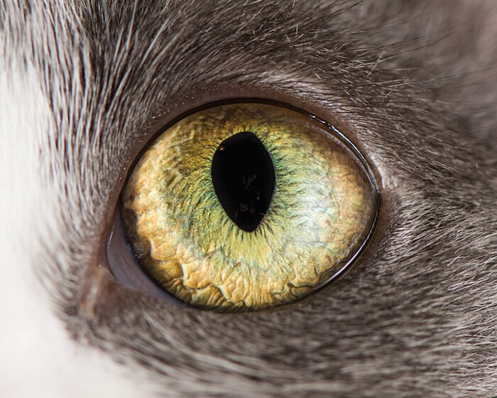fotografia-macro-occhi-gatti-andrew-marttila-09