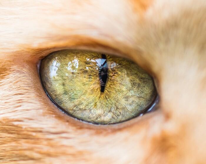fotografia-macro-occhi-gatti-andrew-marttila-13