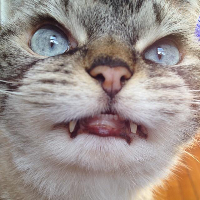 gatto-vampiro-espressione-cattiva-loki-01