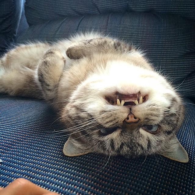 gatto-vampiro-espressione-cattiva-loki-04