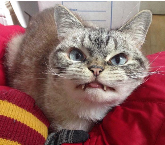 gatto-vampiro-espressione-cattiva-loki-11
