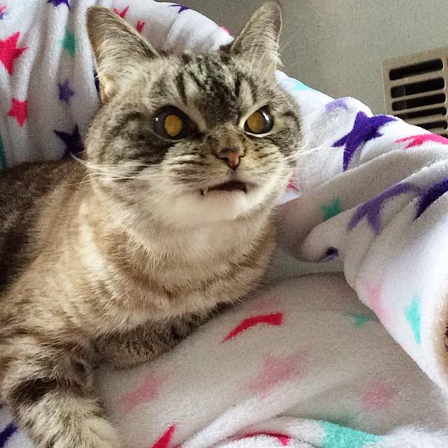 gatto-vampiro-espressione-cattiva-loki-13