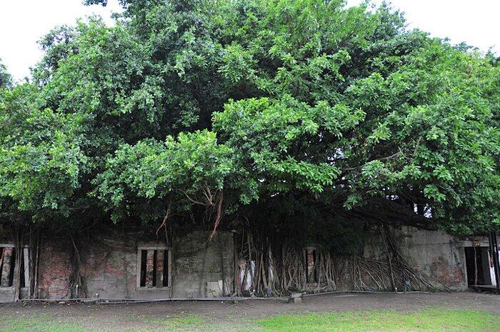 natura-conquista-edifici-uomo-radici-alberi-banyan-taiwan-05