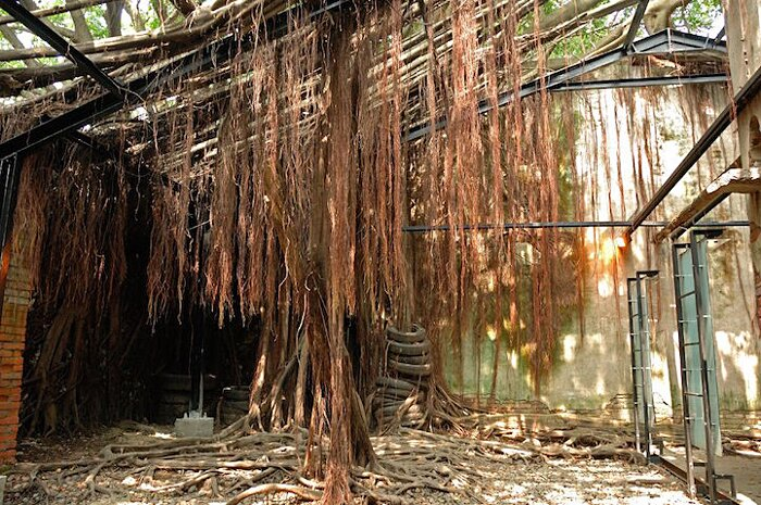 natura-conquista-edifici-uomo-radici-alberi-banyan-taiwan-12