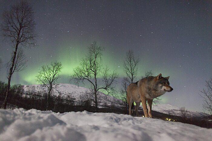 parco-norvegia-visitatori-giocano-con-lupi-polar-park-207