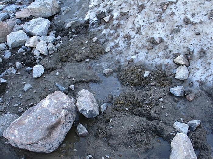pianta-muschio-antica-400-anni-risuscita-ghiacciaio-canada-1