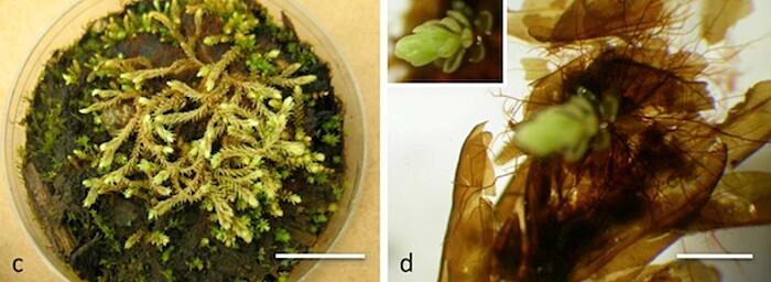 pianta-muschio-antica-400-anni-risuscita-ghiacciaio-canada-3