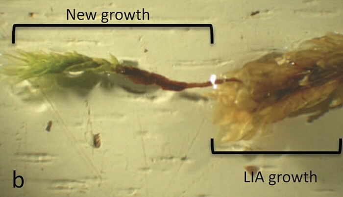 pianta-muschio-antica-400-anni-risuscita-ghiacciaio-canada-4