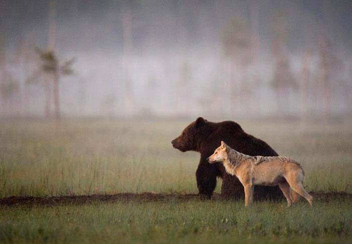 rara-amicizia-tra-animali-diversi-lupo-grigio-orso-bruno-lassi-rautia-01