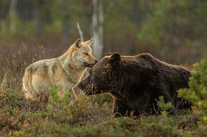 rara-amicizia-tra-animali-diversi-lupo-grigio-orso-bruno-lassi-rautia-03