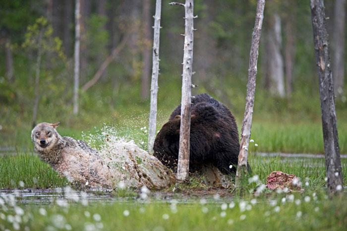 rara-amicizia-tra-animali-diversi-lupo-grigio-orso-bruno-lassi-rautia-04