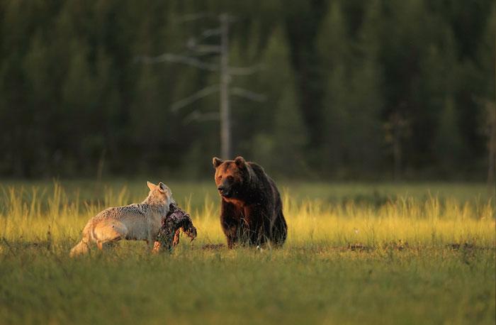 rara-amicizia-tra-animali-diversi-lupo-grigio-orso-bruno-lassi-rautia-05
