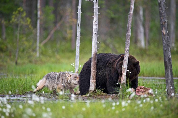 rara-amicizia-tra-animali-diversi-lupo-grigio-orso-bruno-lassi-rautia-06